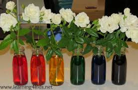 how to dye flowers with food coloring coloring coloring page