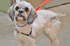 shih poo haircuts a haircut could save a life preventing your pet s coat from