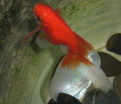 fantail goldfish modern farming methods