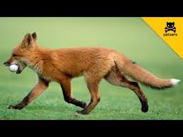 a fox steals a man u0027s golf ball and has the time of his life youtube