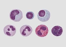 leucociti a tappeto leucociti polimorfonucleati cosa sono
