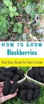 best 25 growing blackberries ideas on pinterest blackberry bush