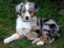 australian shepherd with german shepherd best 25 mini aussie shepherd ideas on pinterest mini aussie