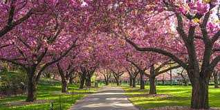 cherry blossom pics 12 best places to see cherry blossoms in spring 2018 where to