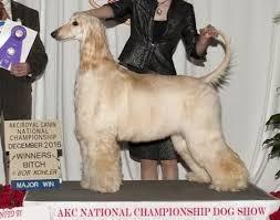 afghan hound national dog show of moulin rouge dega afghans ahi afghan hound pedigree database