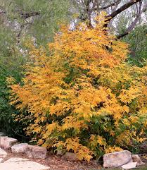native mexican plants rock oak deer u is for ungnadia speciosa