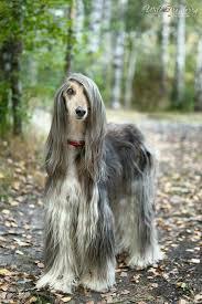afghan hound lifespan afgano galgos y podencos pinterest afghan hound dog and animal