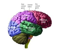 Which Part Of The Brain Consists Of Two Hemispheres What Is The Cerebrum Definition Functions U0026 Location Video