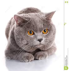 evil gray british shorthair cat with brown eyes stock photo