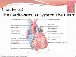 External Heart Anatomy Lecture Outline 1 Objectives Describe The Structure Function