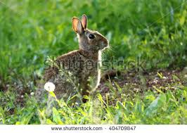 peter cottontail stock images royalty free images u0026 vectors
