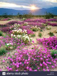 usa california anza borrego desert state park sand verbena and
