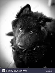 belgian shepherd dog a groenendael belgian shepherd dog puppy stock photo royalty free