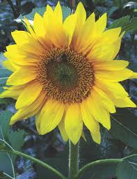 fairhill native plants secrets to successfully growing and assembling sunflowers the