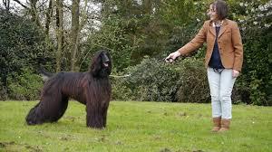 afghan hound ireland the irish setters u0026 afghan hounds of thendara