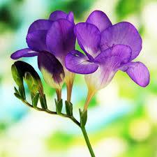 freesia flower freesia single blue freesia lacteal corms fragrant blue and