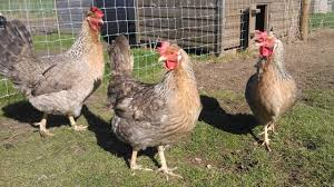 9 months old egg laying hens total organic 03459442750 zain ali