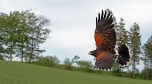 falconer silkeborg rovfugleshow