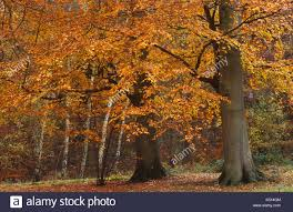 beech and birch trees in autumn by virginia water great