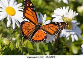 butterflies monarch butterfly landing on a plant in garden