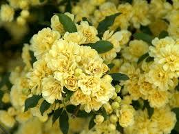 yellow lady banks chinese climbing rose 4