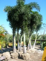 jacksonville florida palm trees for sale