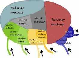 Thalamus Part Of The Brain The Thalamus Don U0027t Be A Salmon
