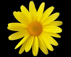 yellow daisy wallpapers daisy flower yellow best flowers and rose 2017