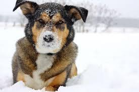 australian shepherd boxer mix german shepherd boxer mix appearance personality health u0026 more