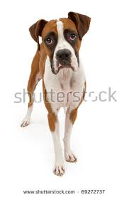boxer dog white white boxer dog stock images royalty free images u0026 vectors