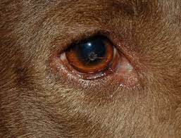 Blind Dog Eye Discharge Heal A Nasty Dog Eye Infection With 4 Home Remedies Dog Health News