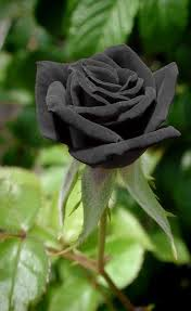 best 25 black rose flower ideas on pinterest black rose tattoos