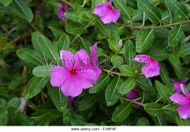 impatiens flowers pink impatiens flowers stock photos pink impatiens flowers stock