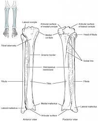 Knee Bony Anatomy Lower Limb Anatomy Bones Knee Bone Anatomy Anatomy Human Body