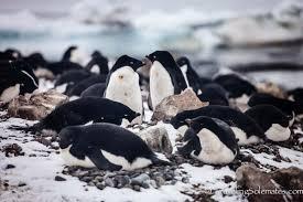 antarctica brown bluff penguins galore u0026 sea ice traveling