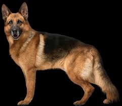pictures free download personnages dog german shepherd puppy png