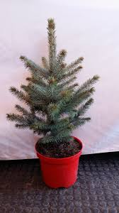 table top real blue spruce christmas tree rooted