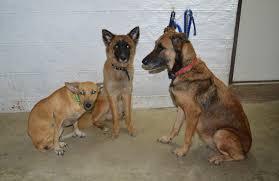 belgian shepherd stomach cancer belgian malinois shepherd cebu kisha and her pups