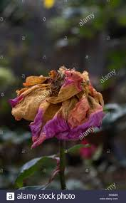 dead rose decaying with beautiful colours stock photo royalty