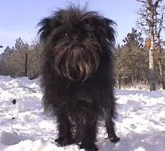 affenpinscher qualities about toy dogs december 2006