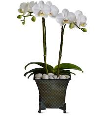 orchid delivery orchid phalaenopsis plant best deer park florist for orchid