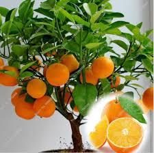 balcony patio pots dwarf fruit trees planted seeds citrus orange