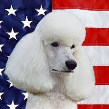 american eskimo dog vector american eskimo dog coasters american eskimo dog patriotic
