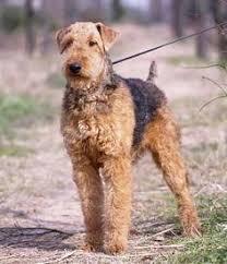 belgian shepherd hypoallergenic airedale terrier breed info characteristics hypoallergenic yes