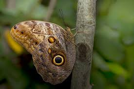 the owl and the butterfly and mimicry nature the earth times