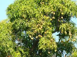 In Backyard Mango Tree In Backyard Picture Of Casa Particular De Bertha