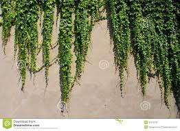 ivy climbing ever green plants on the wall stock photo image