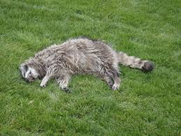 dead raccoon pick up oregon dead animal removal