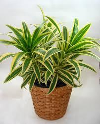 indoor plants india plants foliage plants house plants blumengarten florist