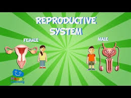 Female Anatomy Diagram For Kids The Reproductive System Educational Video For Kids Youtube